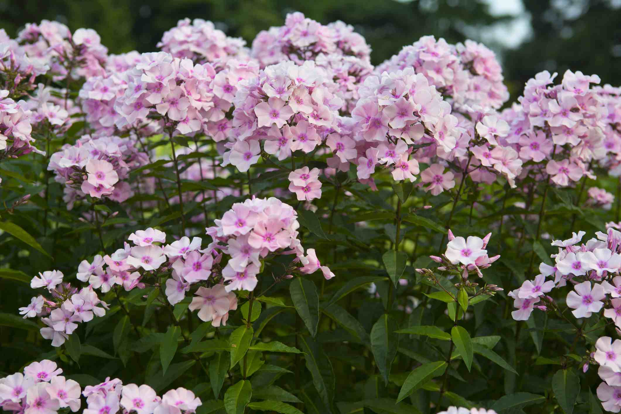 Several plants of 'Rosa Pastell' tall garden phlox growing together.