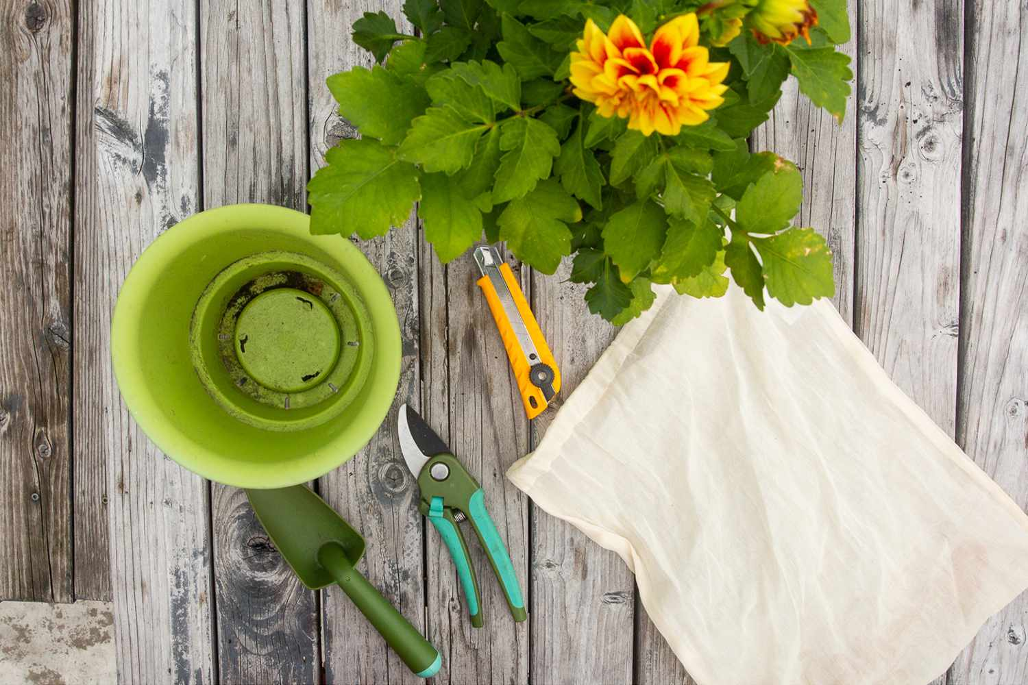 Materials and tools to dig and divide dahlia plants on wooden surface