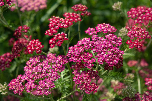 Yarrow plant with red flowers in garden