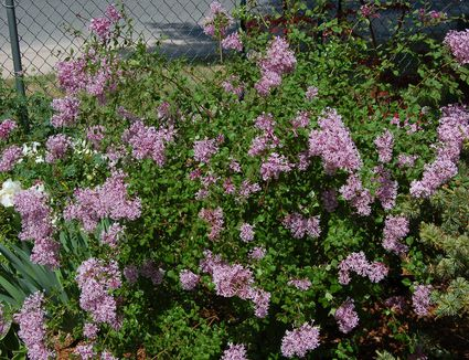 How To Grow And Care For Lilac Bush