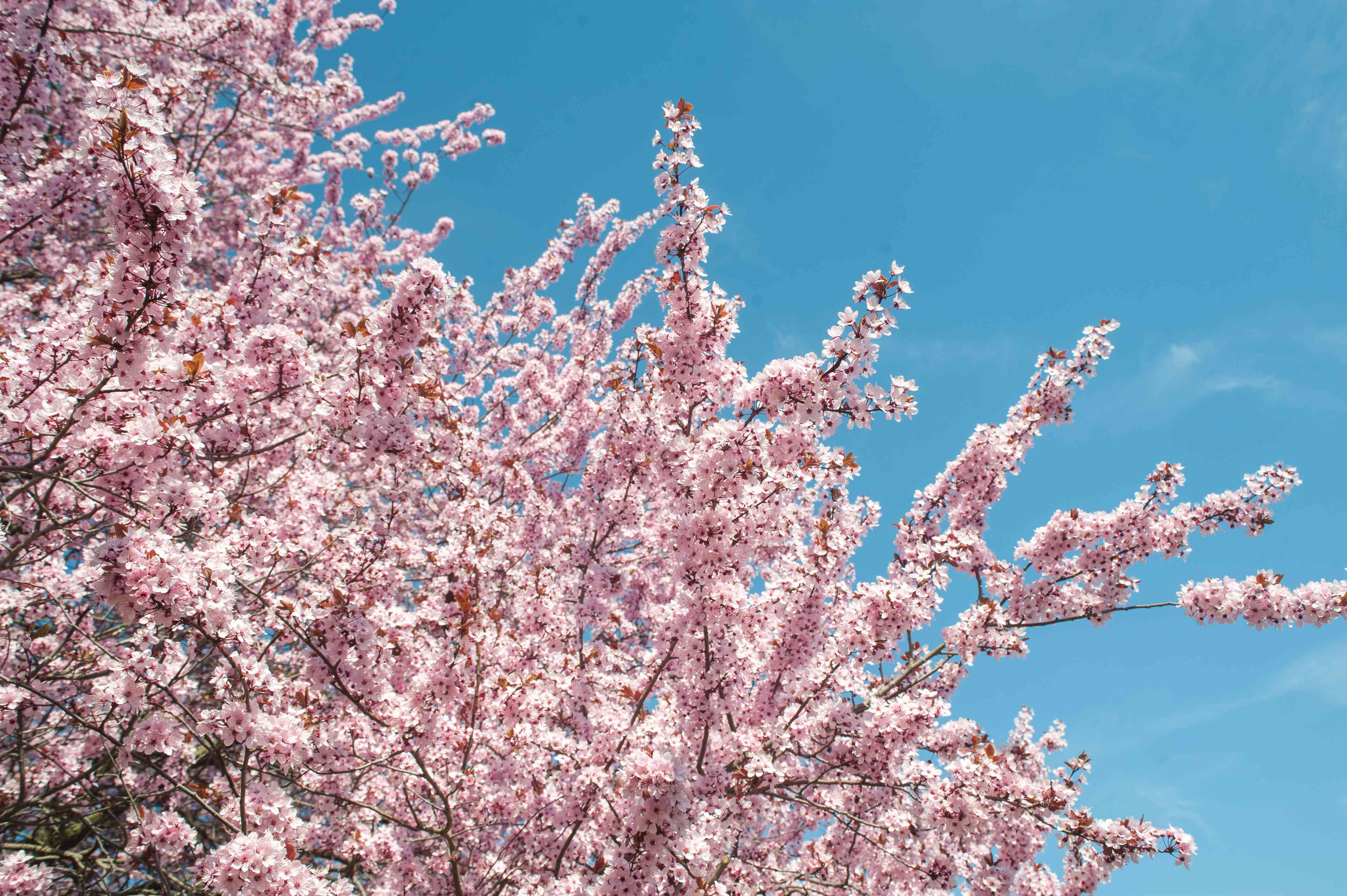 Purple leaf sand cherry tree branches with pink flowers against blue sky