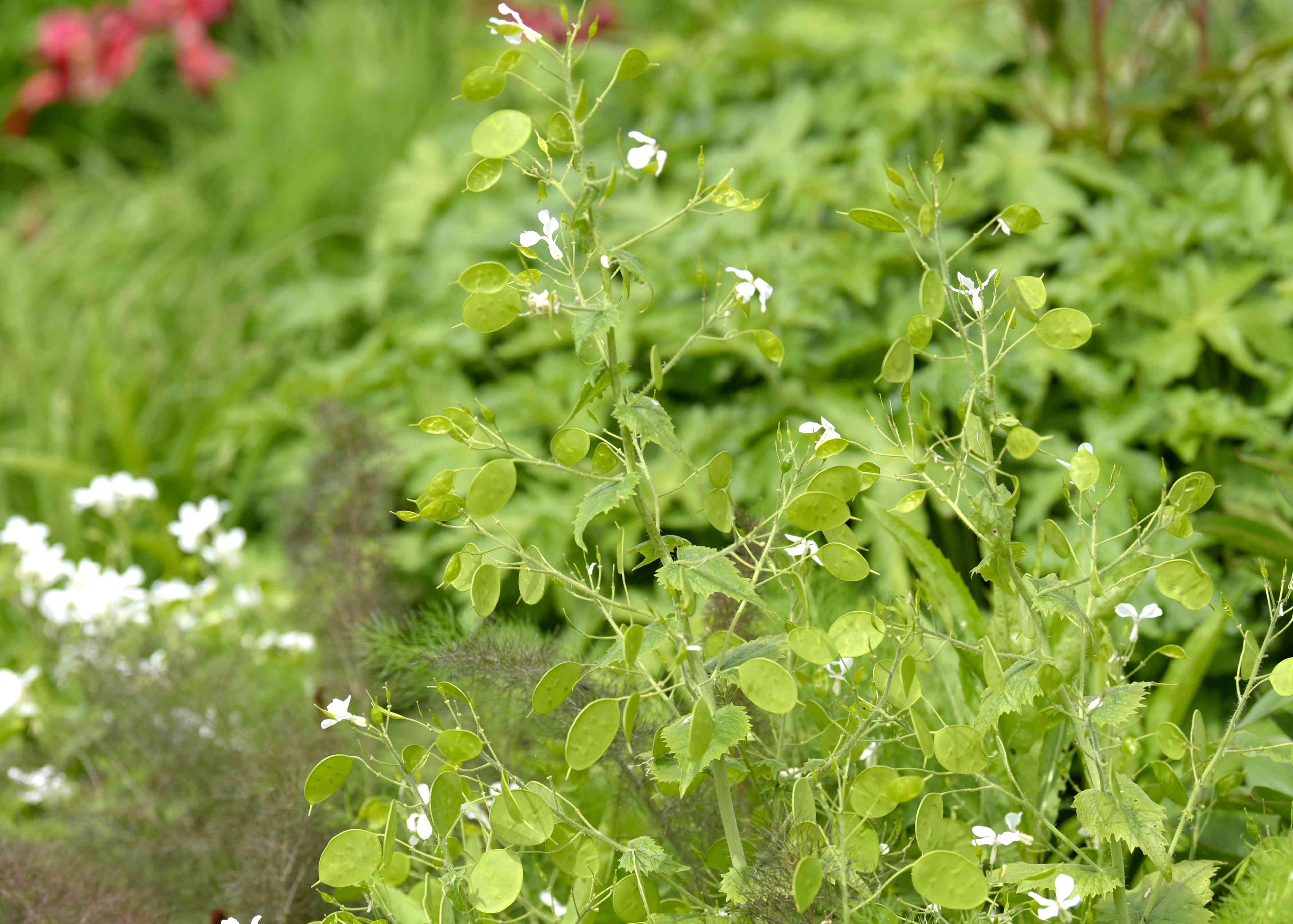 Lunaria plant with rounded green leaves on tall stems with small white flowers