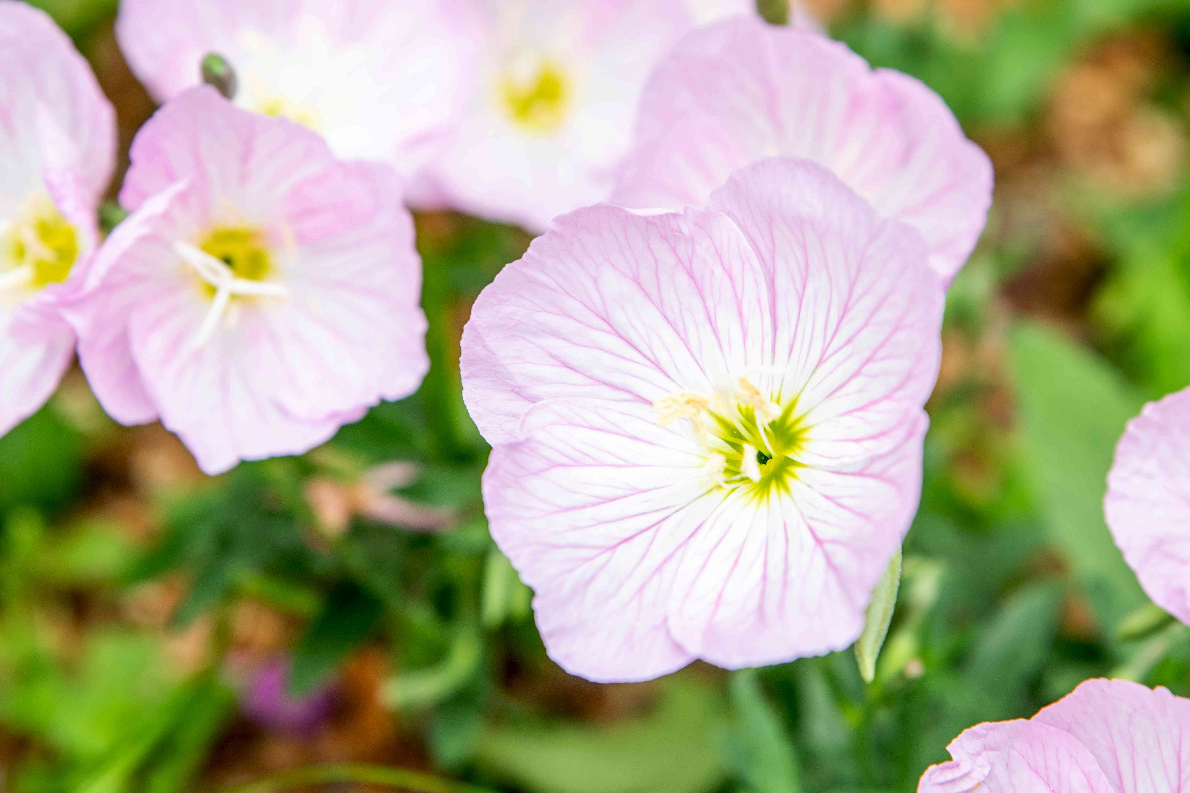 Pink evening primrose flowers with pale pink and white overlapping petals and yellow-green centers closeup