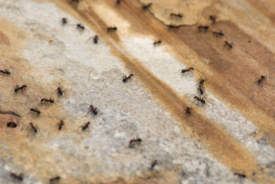 Dozens of ants on a walkway.
