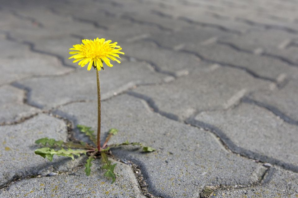 A dandelion growing between paving stones