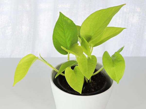 A neon pothos houseplant in a white pot on a white table, with white curtains in the background.