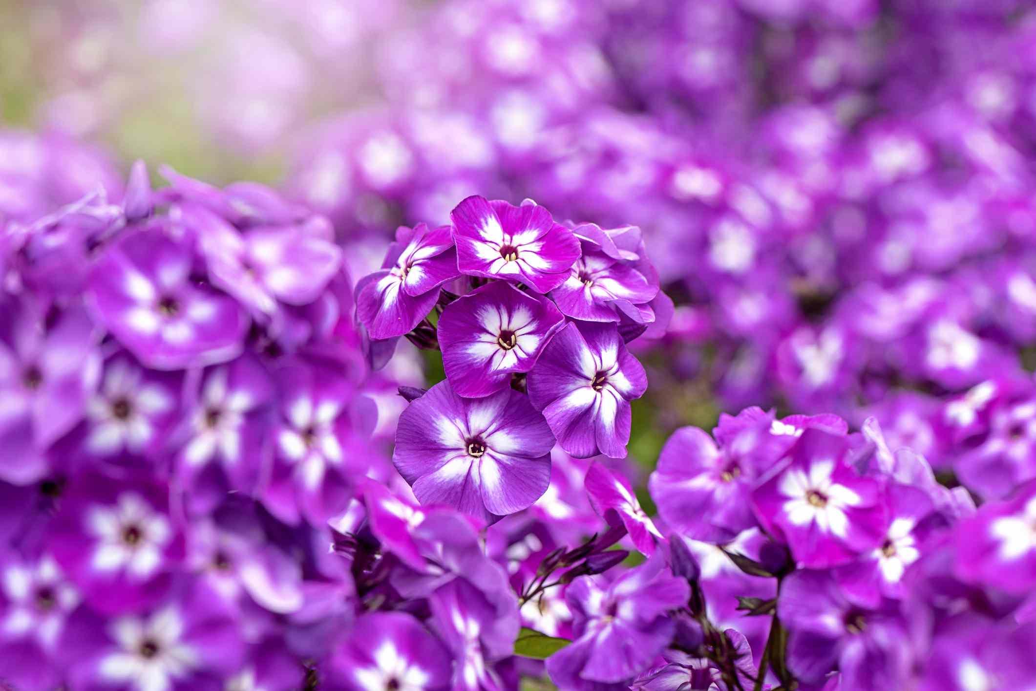 Closeup of deep-pink garden phlox flowers.
