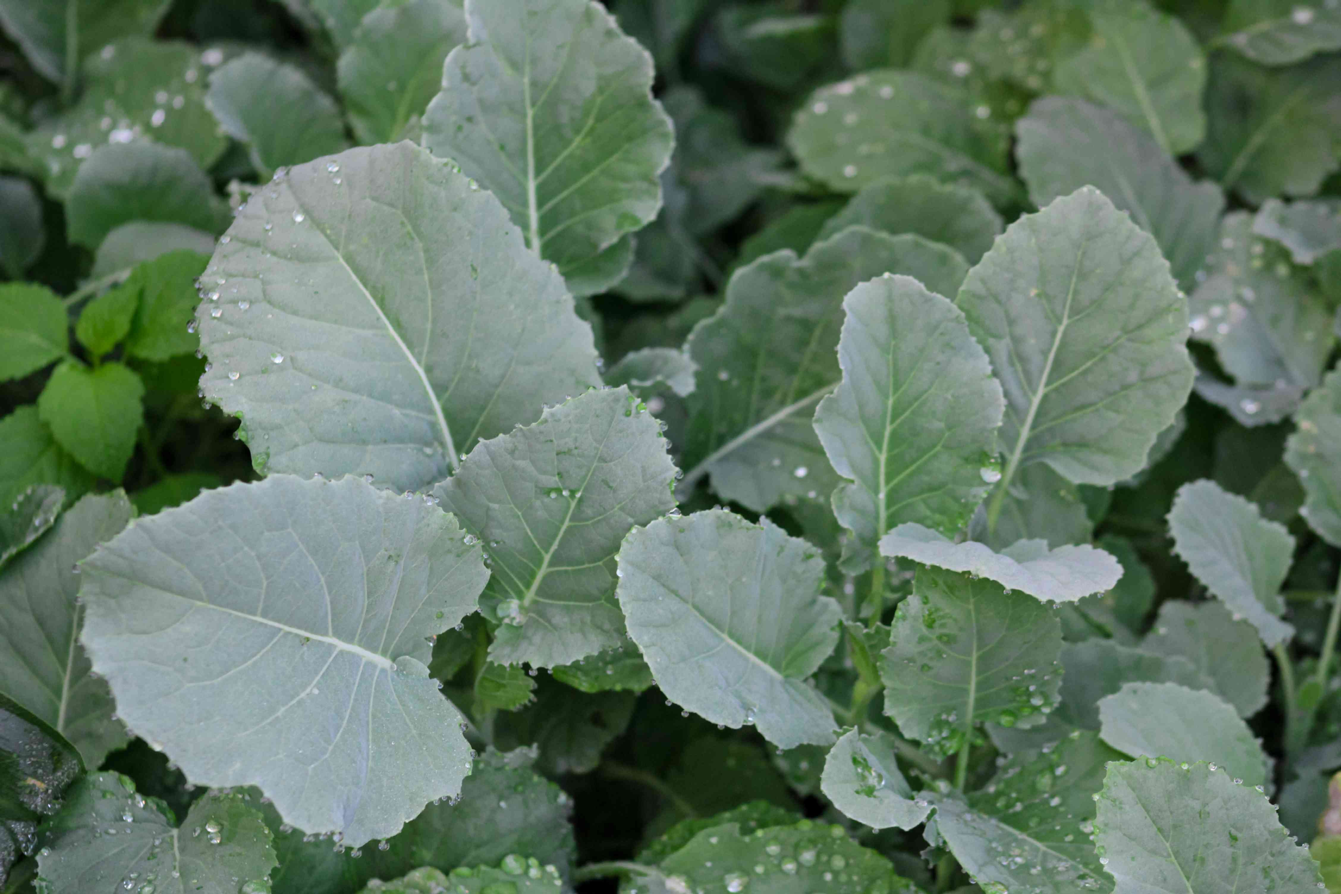 Organic kale leaves with some leaves underneath with water droplets