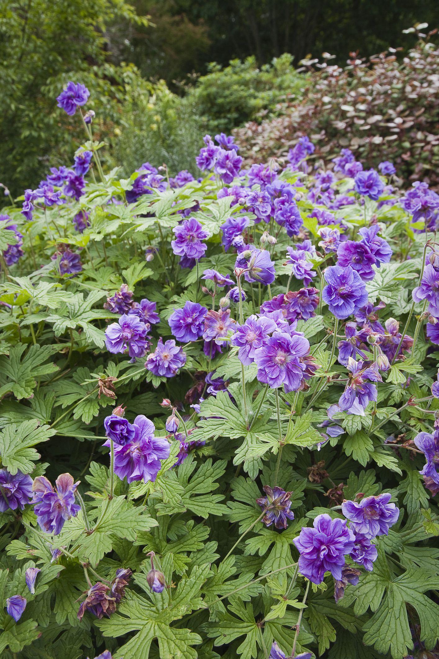 'Plenum' geranium with purple flowers