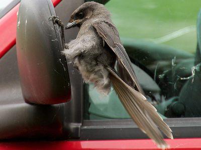 Canada Jay Attacking a Car Mirror
