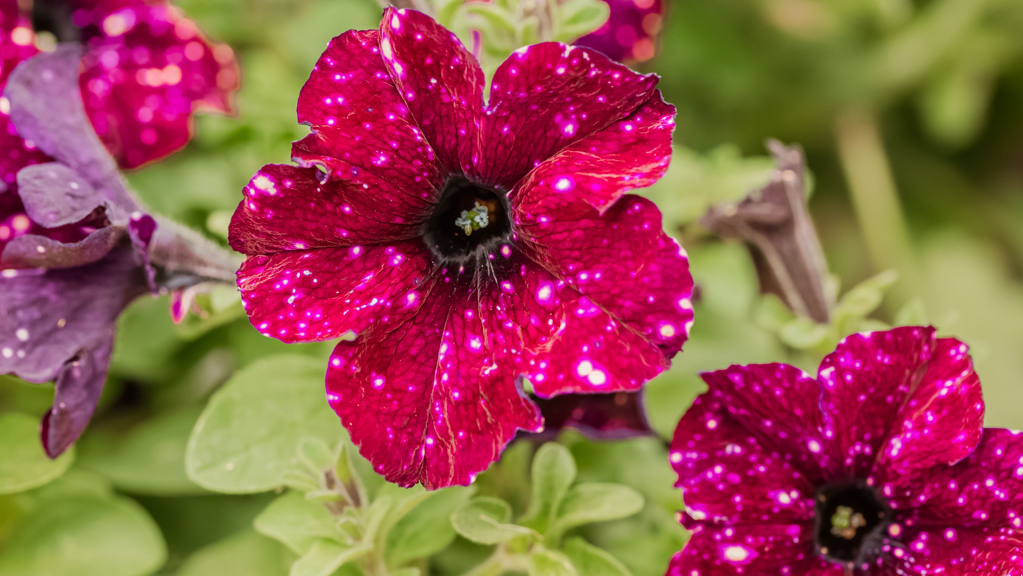 Galaxy Petunia Care And Growing Guide