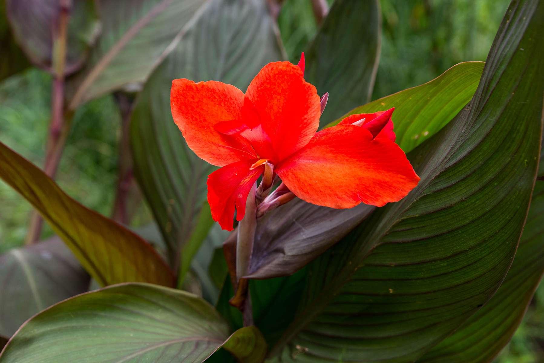 King Humbert canna lily