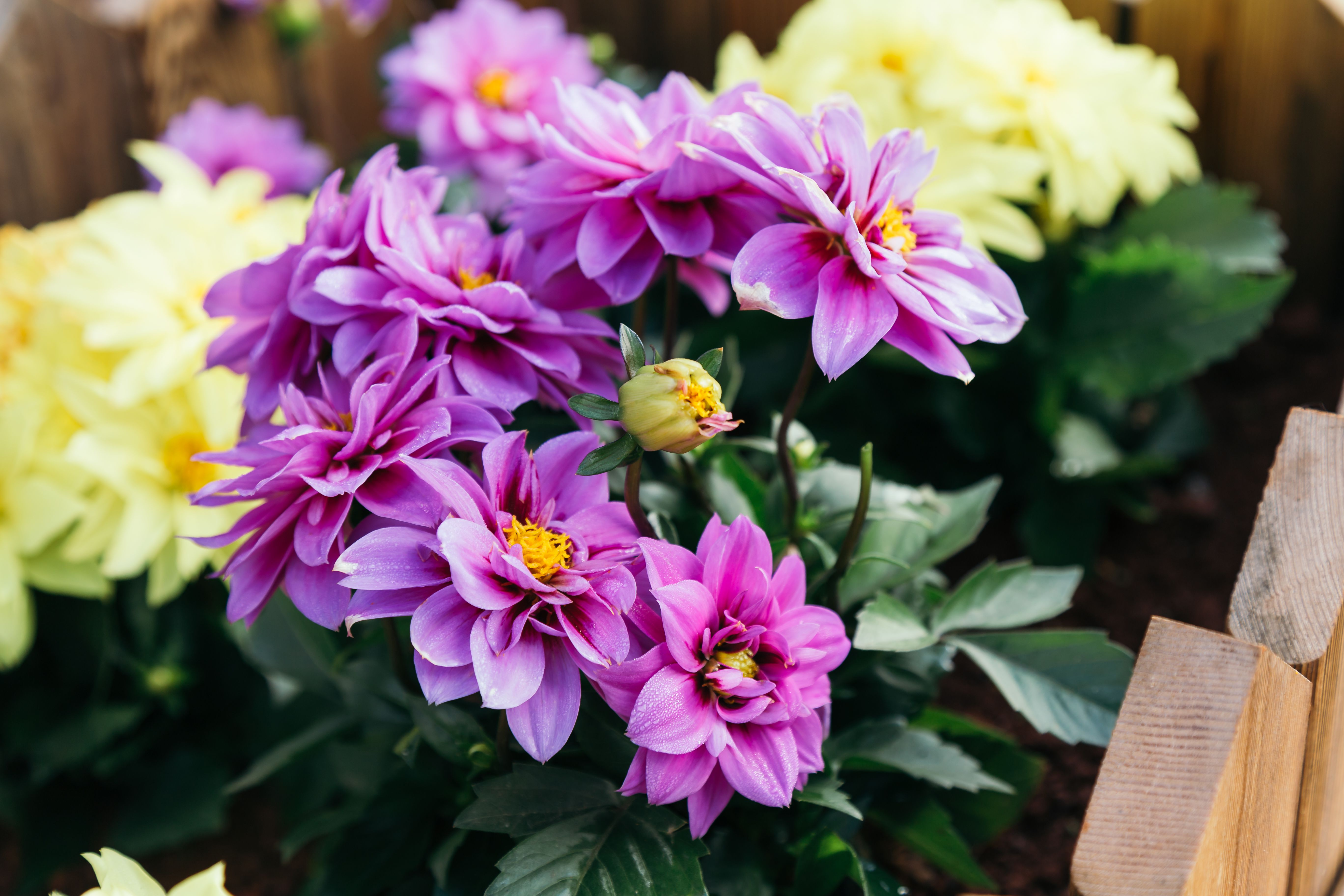 Pinching Deadheading And Cutting Back In Your Garden