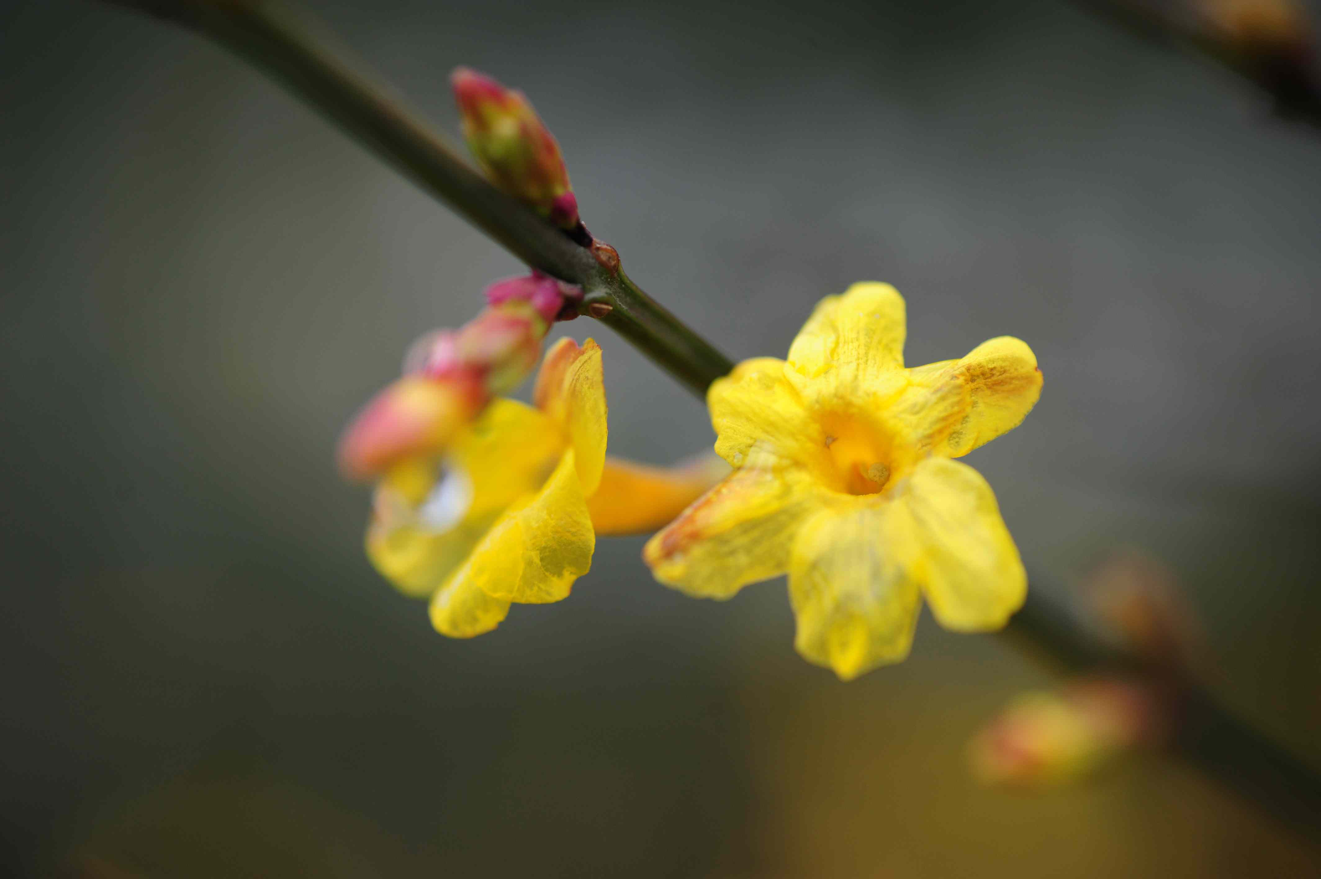 Winter jasmine with yellow flowers and buds on vine