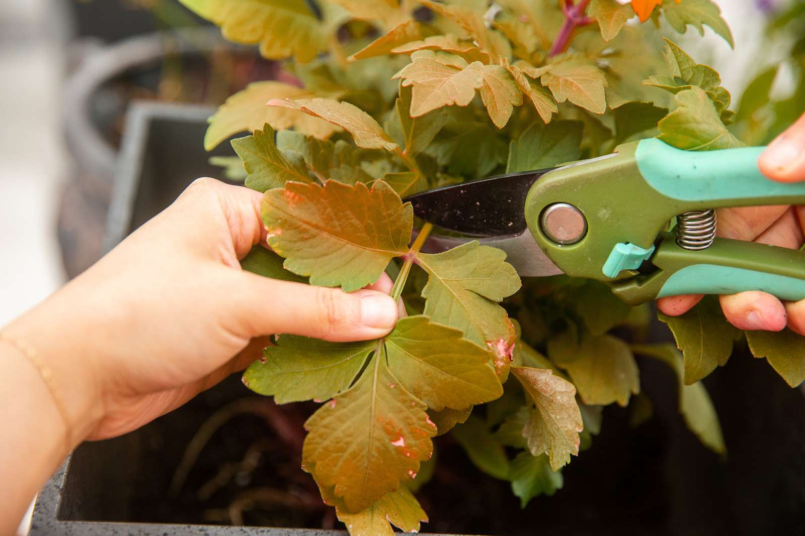 Dahlia plant foliage cut back with green hand-held pruners closeup