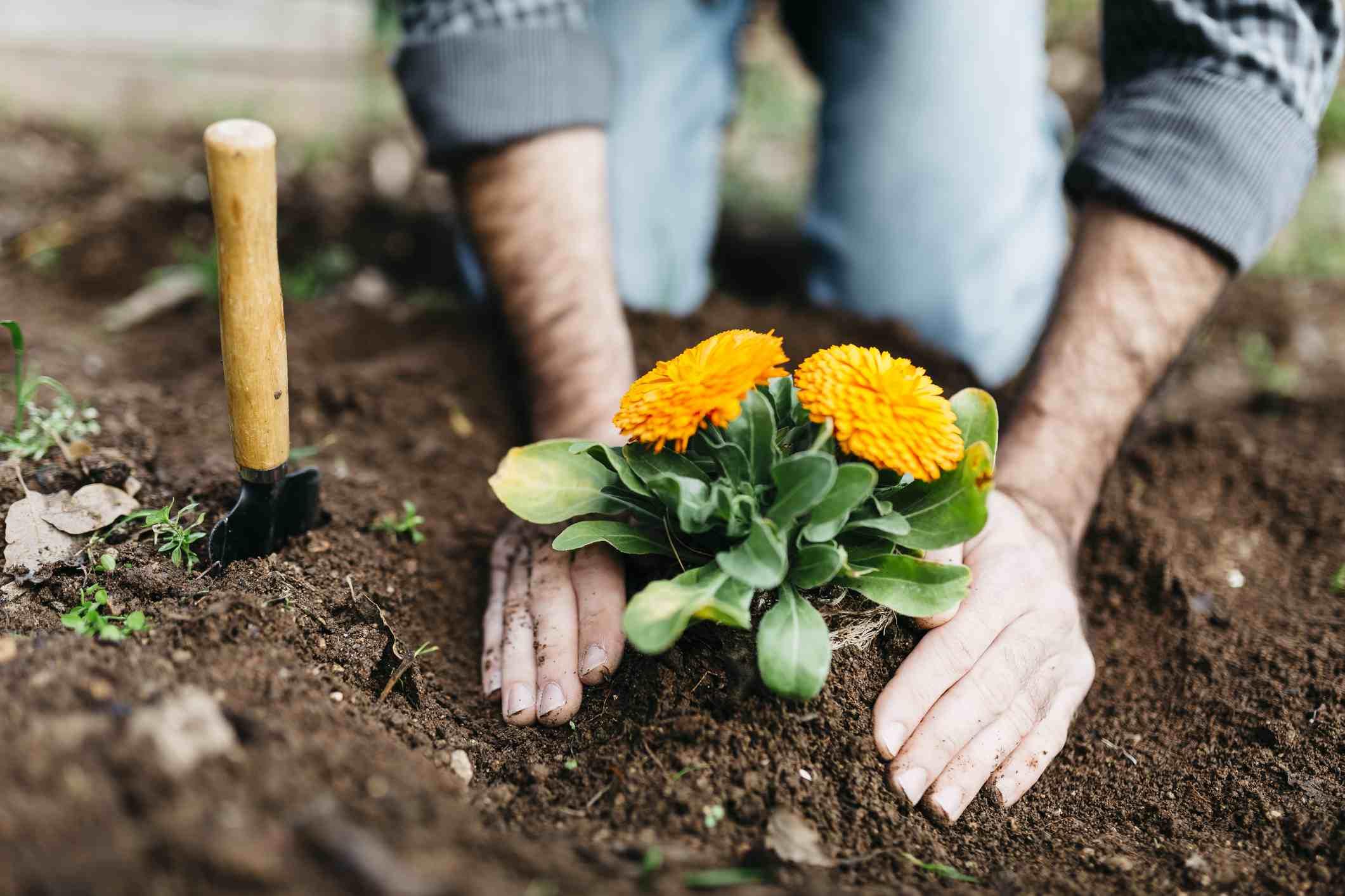 Gardener planting marigold flowers