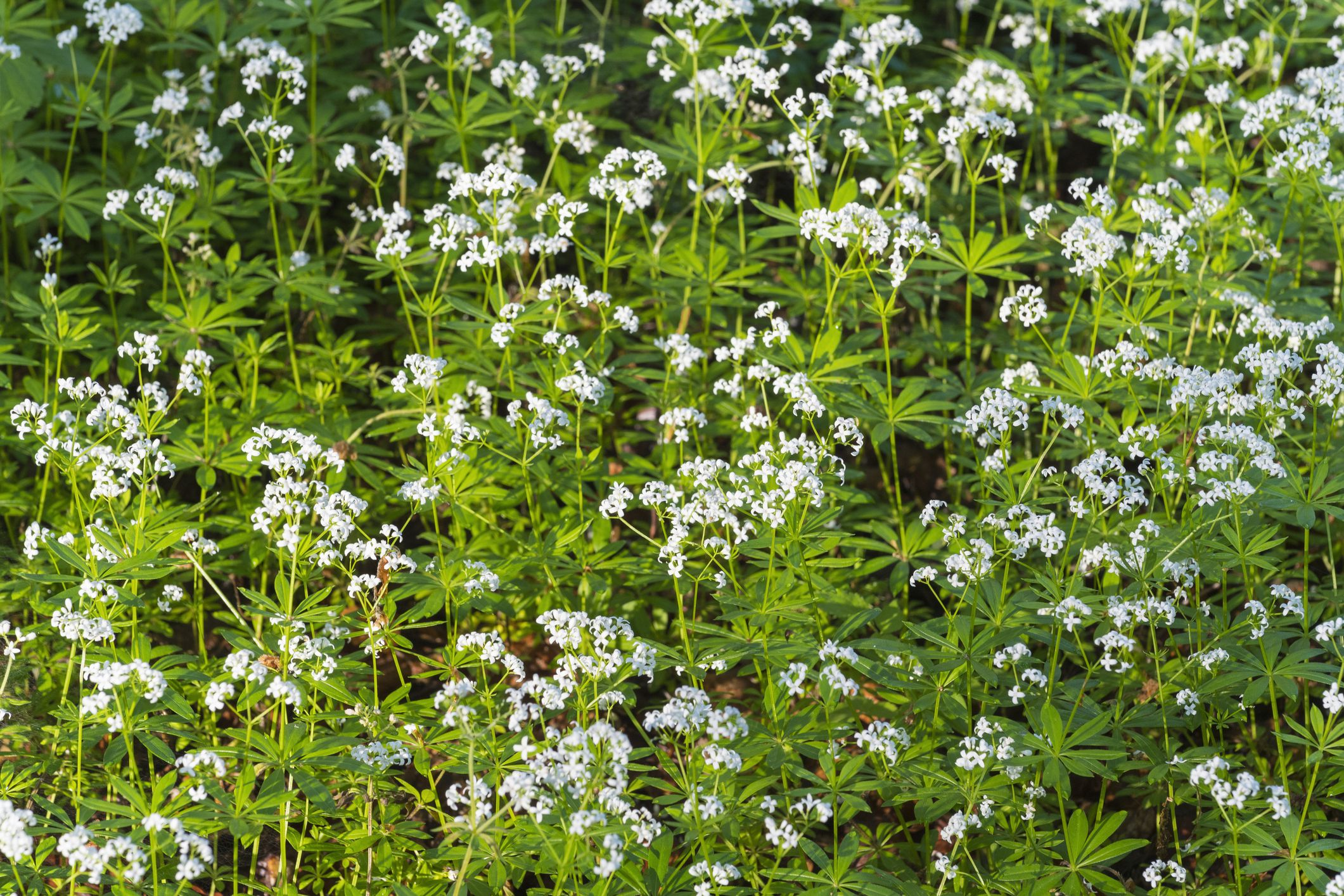 Sweet woodruff plants in bloom.