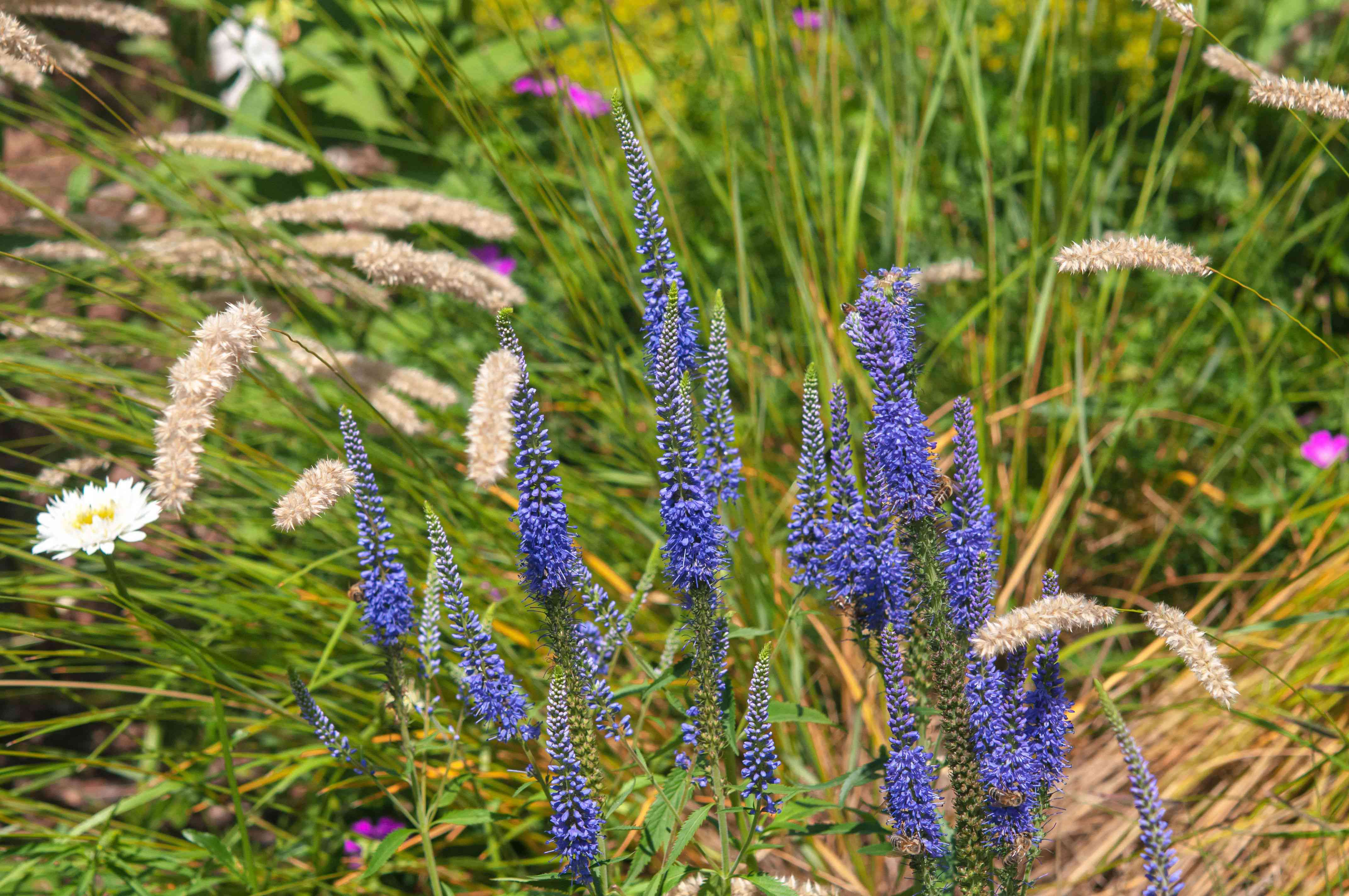 Spiked speedwell plant with purple-blue flower spikes surrounded by tall grasses