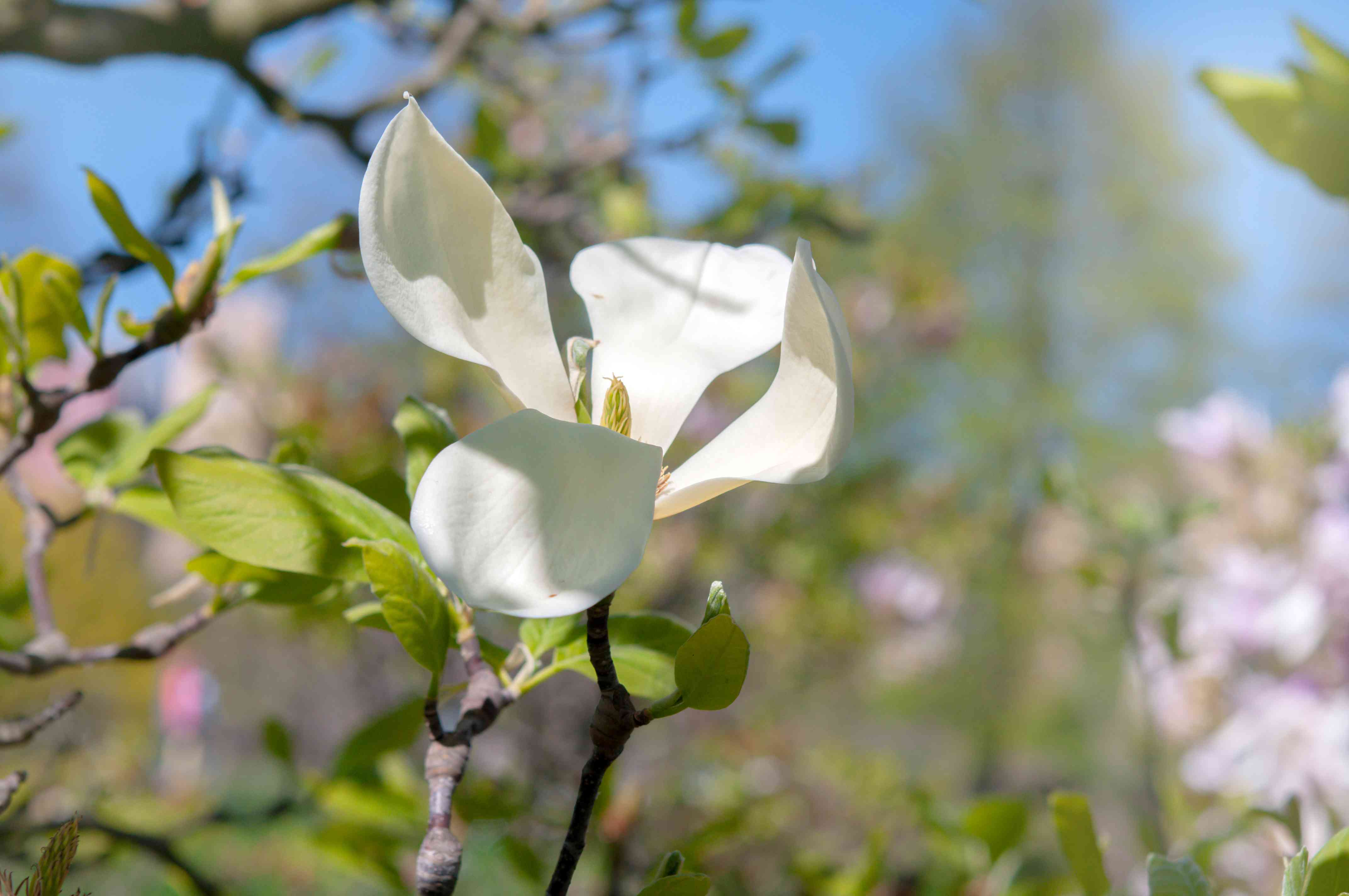 Cucumber tree flower with large white petals in sunlight closeup