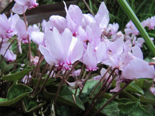 Foto de Cyclamen hederifolium