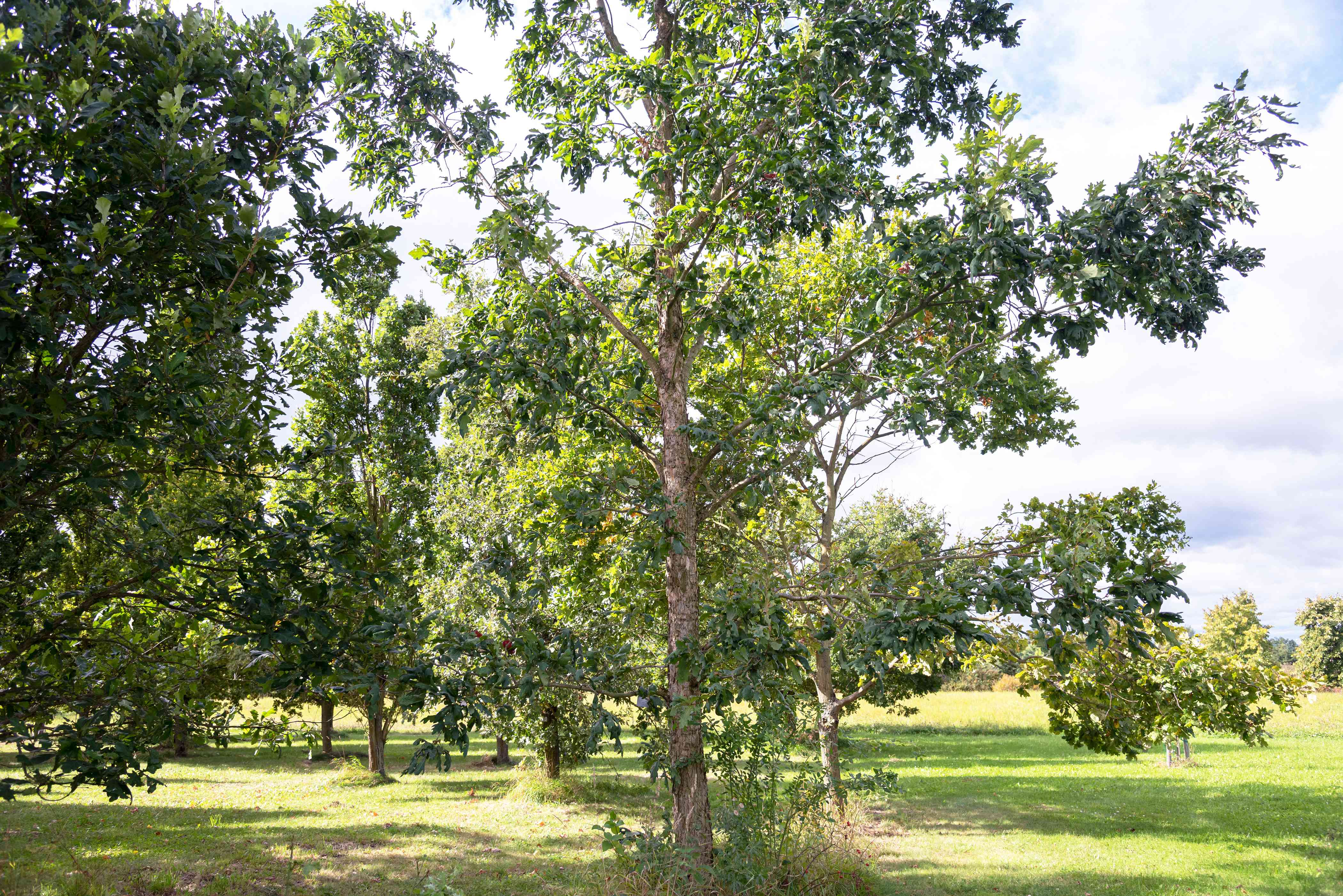 White oak tree with tall trunk and short extending branches in sunlight