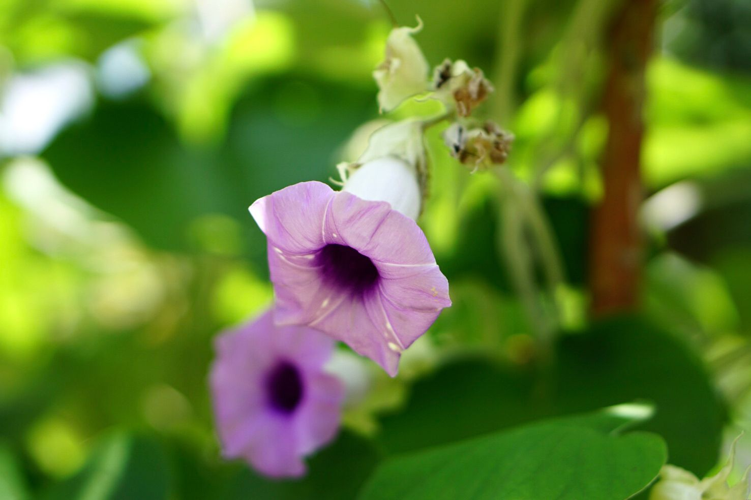 Morning glory flower with light purple cup-like petals closeup