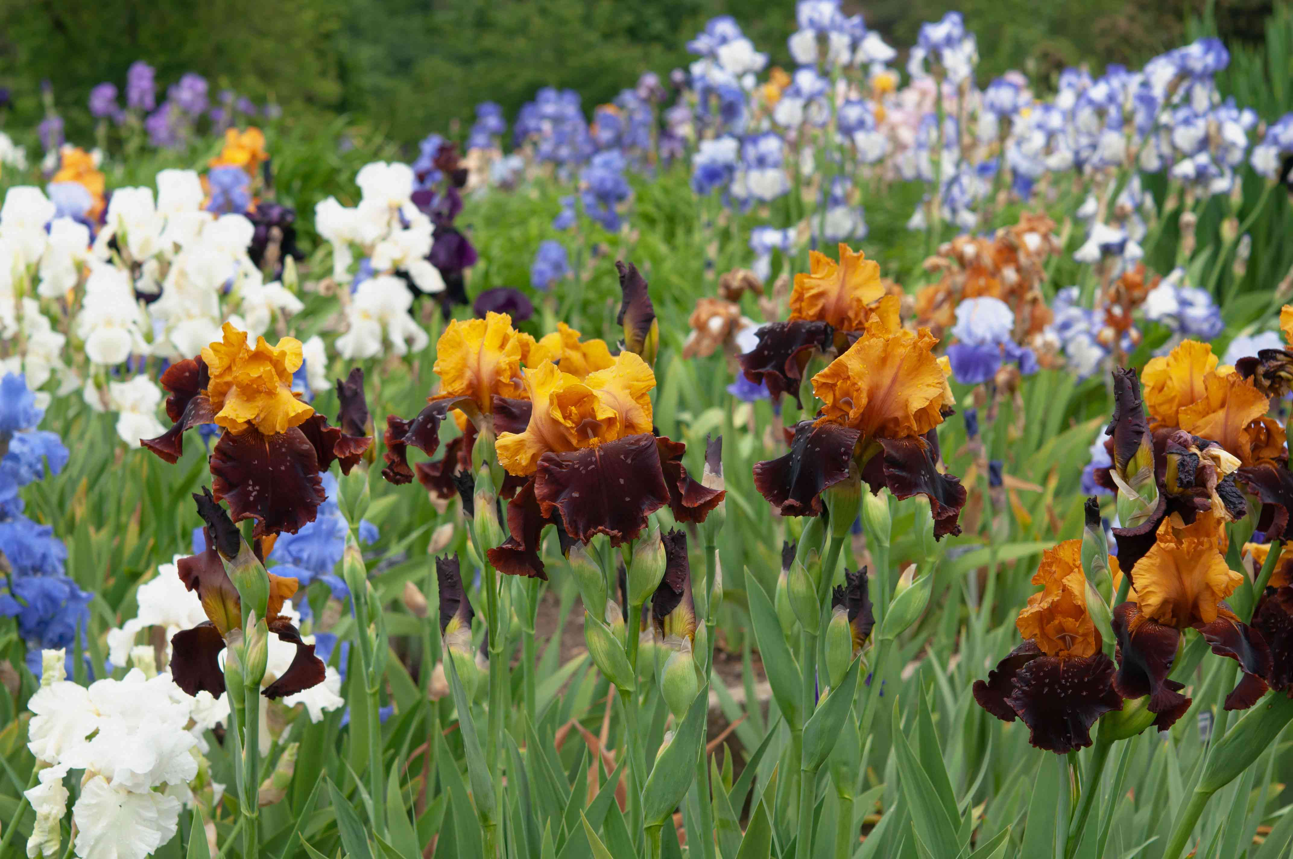 Bearded iris flowers with orange, dark red, white and blue colored petals in garden