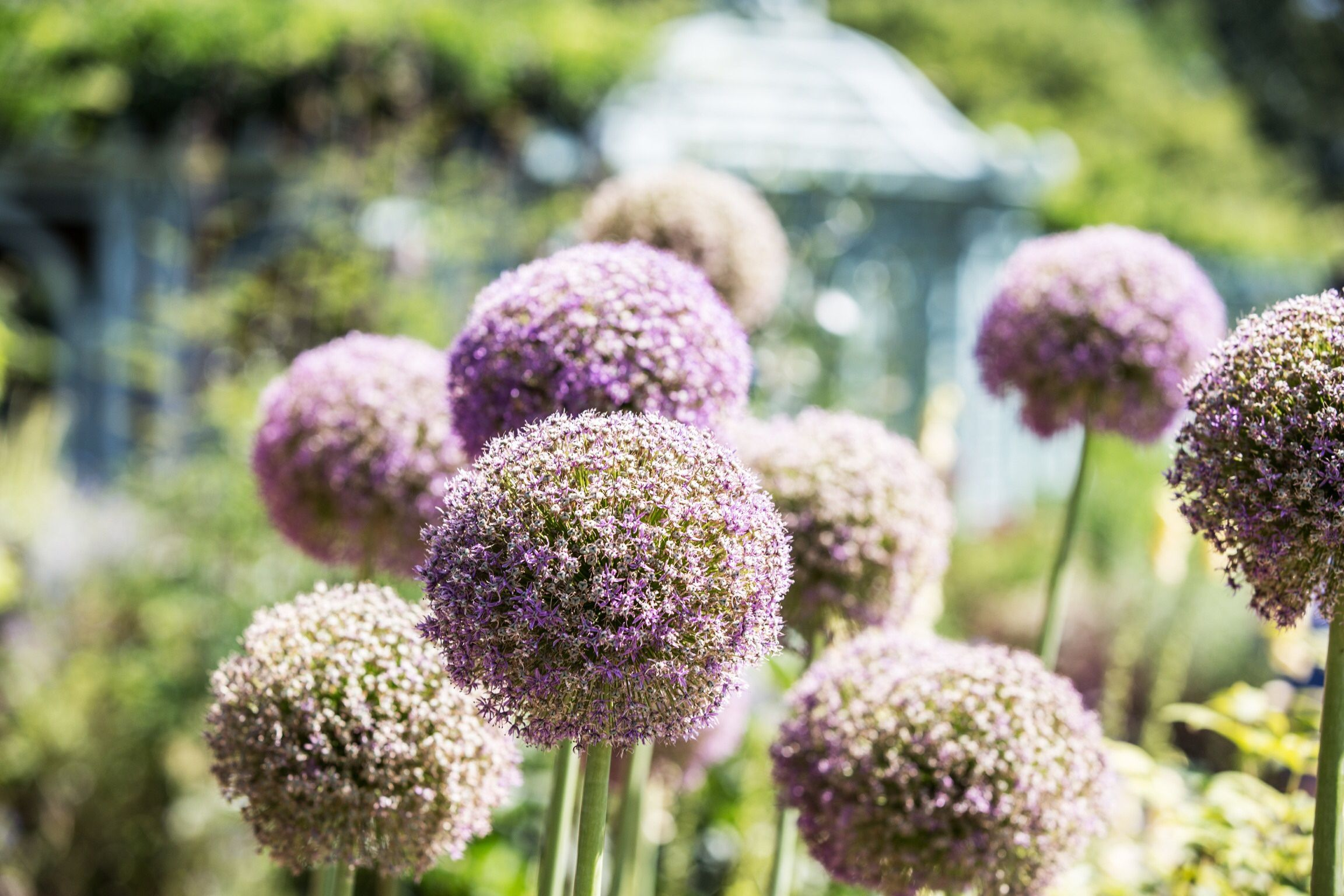 How To Grow And Care For Allium Ornamental Onion