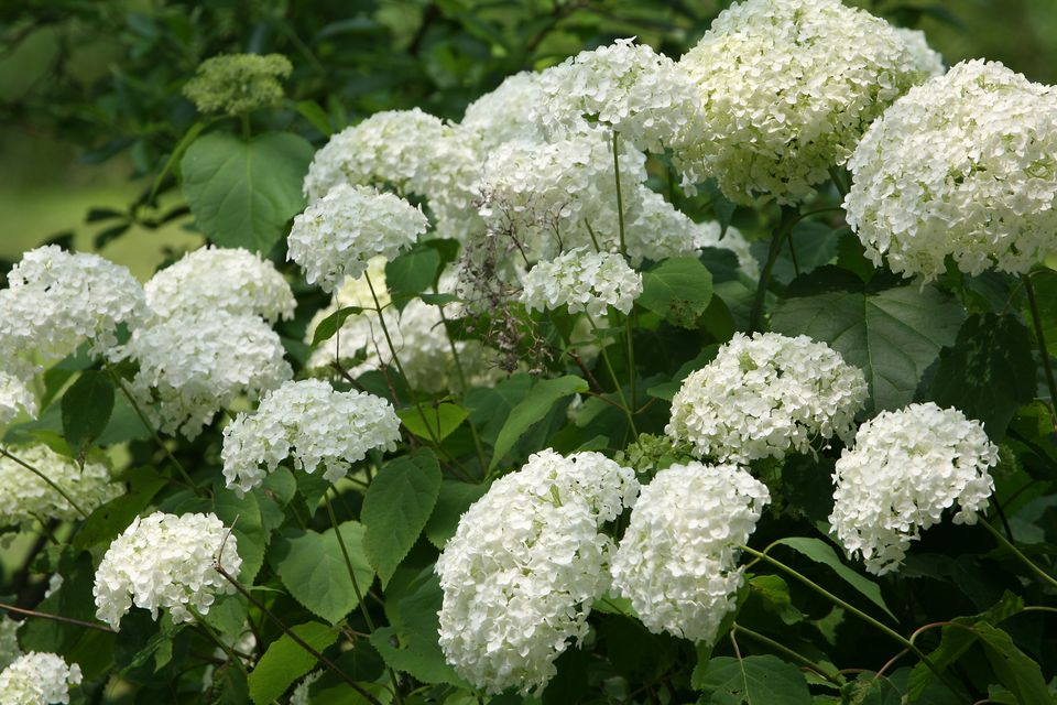 10 best shrubs with white flowers flower clusters of a white hydrangea bush mightylinksfo