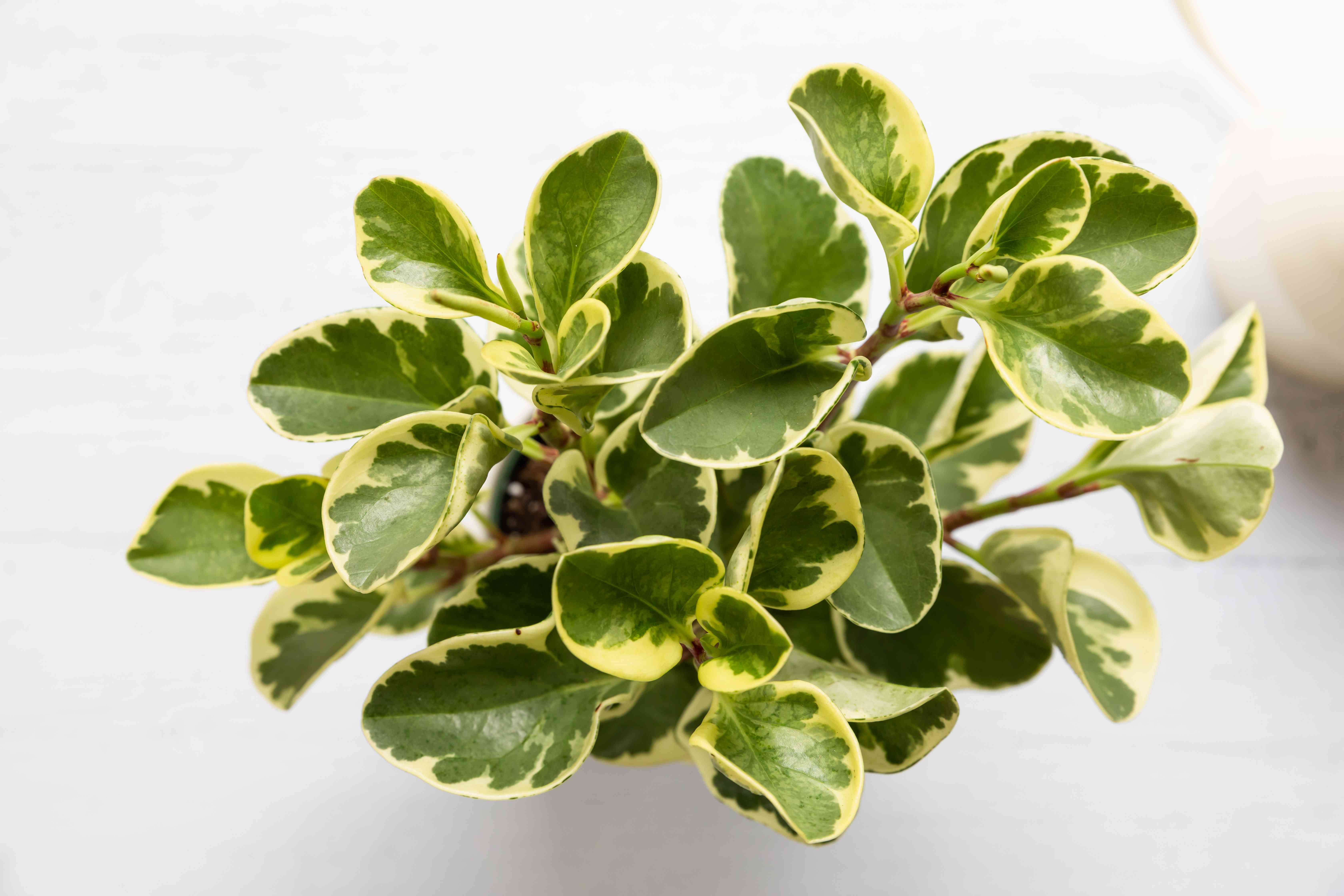 top down view of a peperomia plant