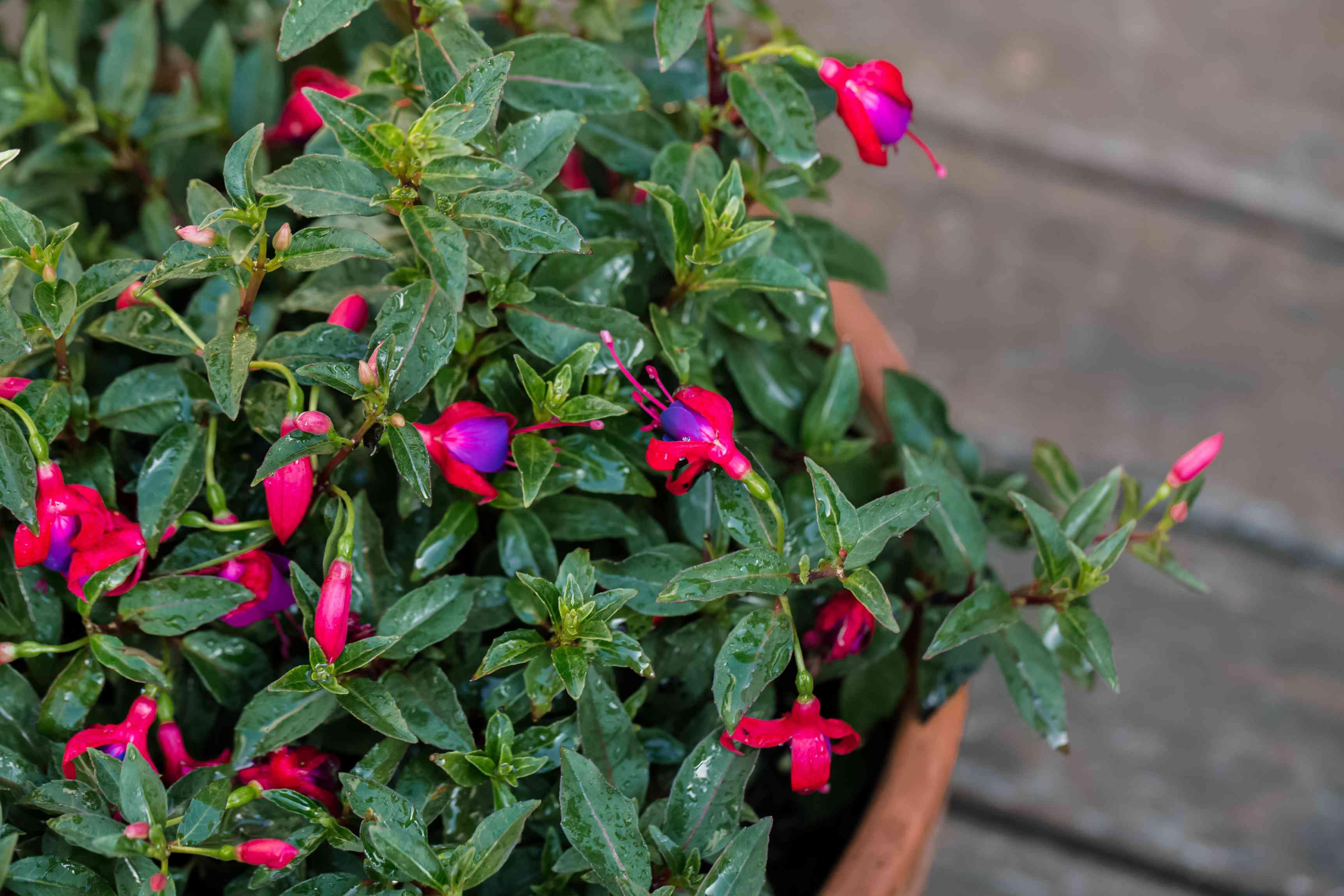 fuchsia growing in a pot