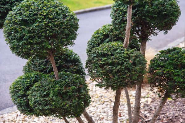 Topiary bushes with leaves cut as crisp orbs around thin stems