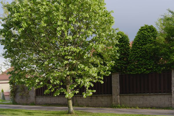 Silver linden tree in front of pathway and fence