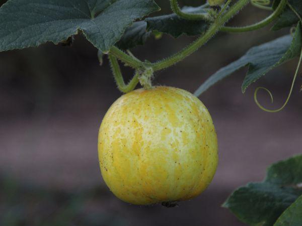 Lemon cucumber on the vine