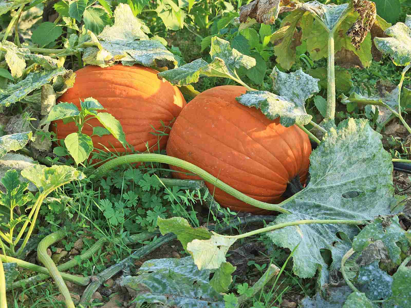 Two pumpkins growing in a garden.