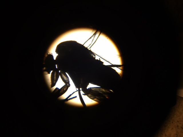 Phorid fly under a microscope.