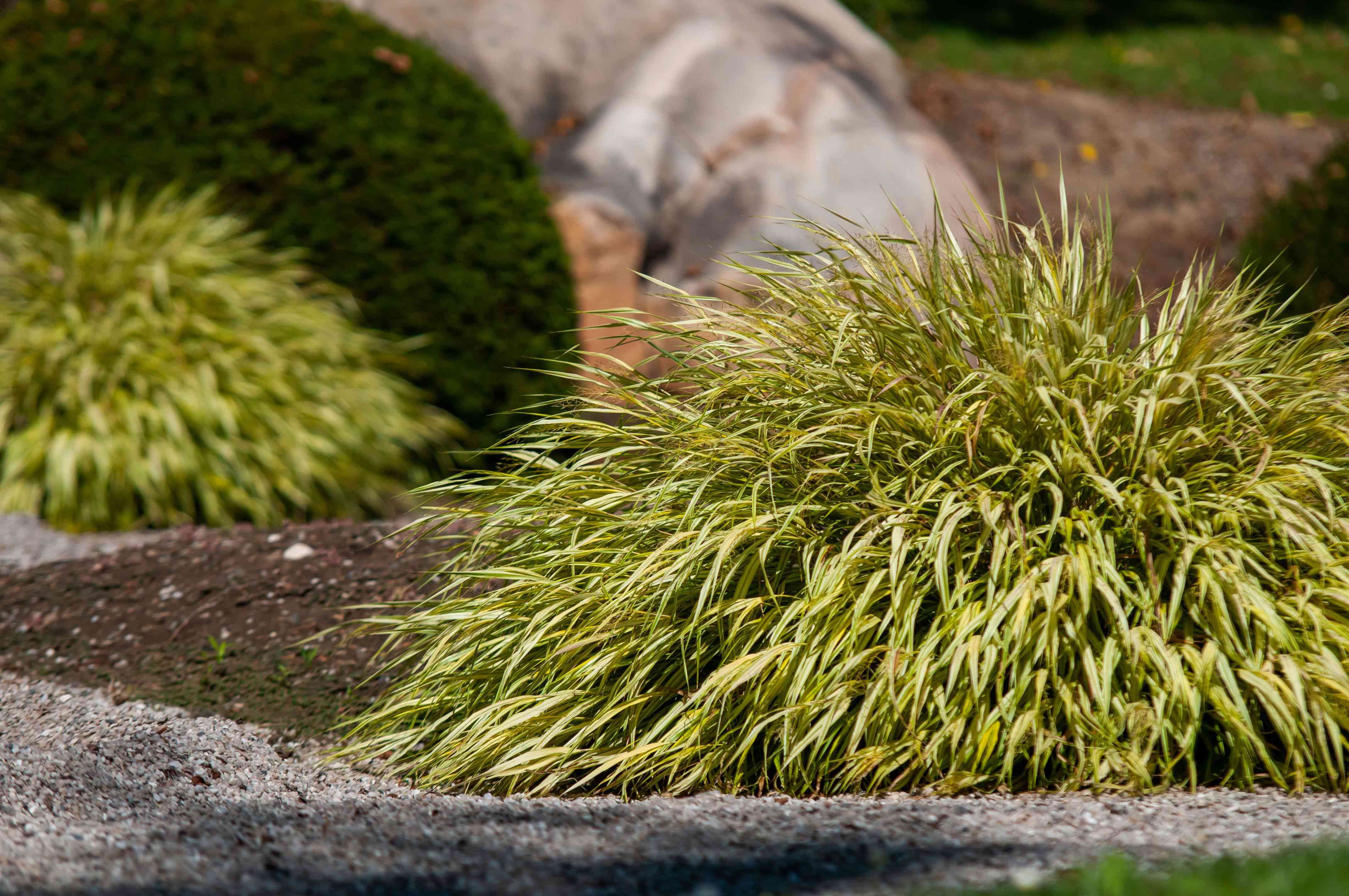 Japanese forest ornamental grass with variegated yellow and green blades clumped in sunlight