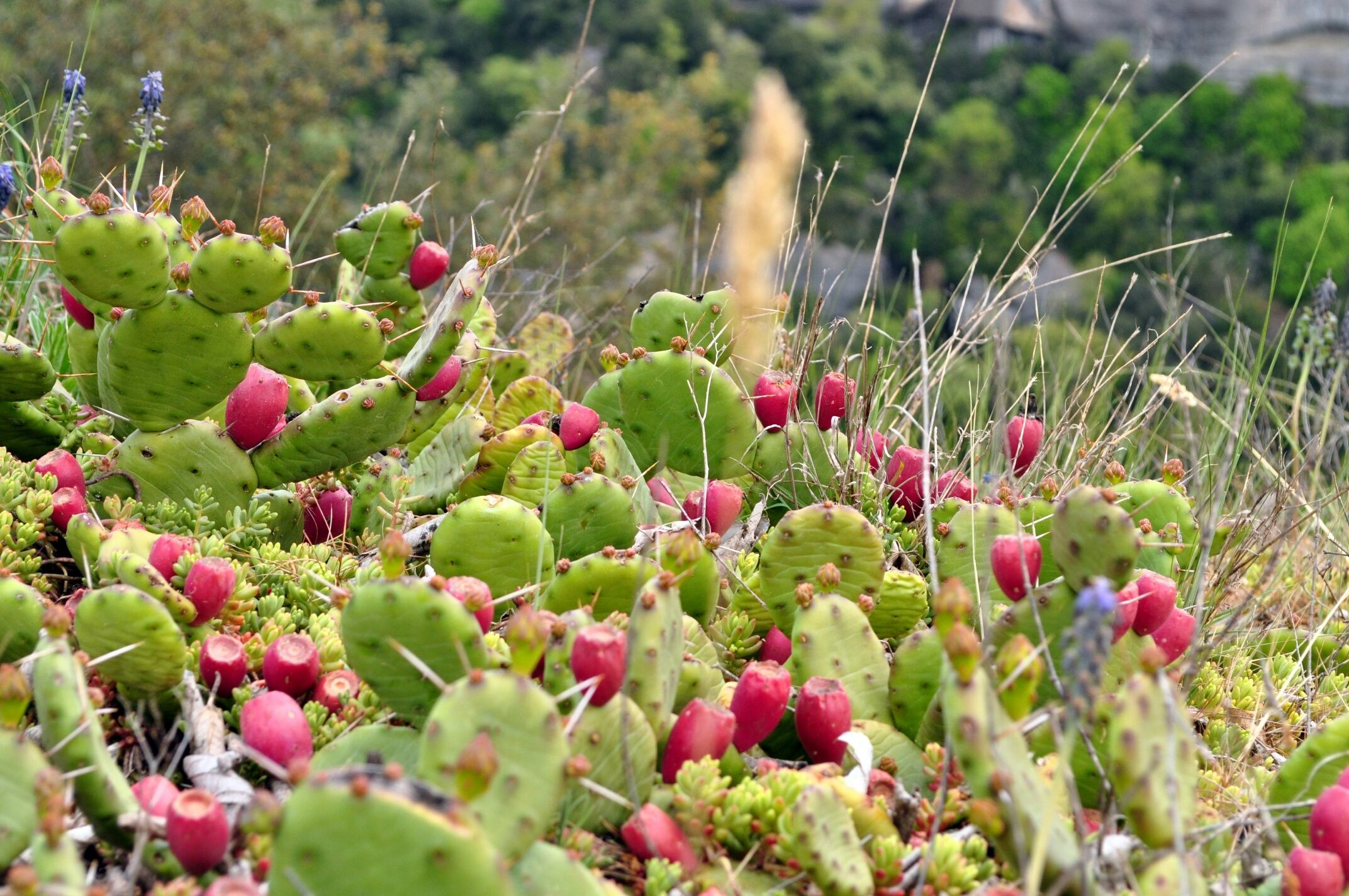 How To Grow Prickly Pear