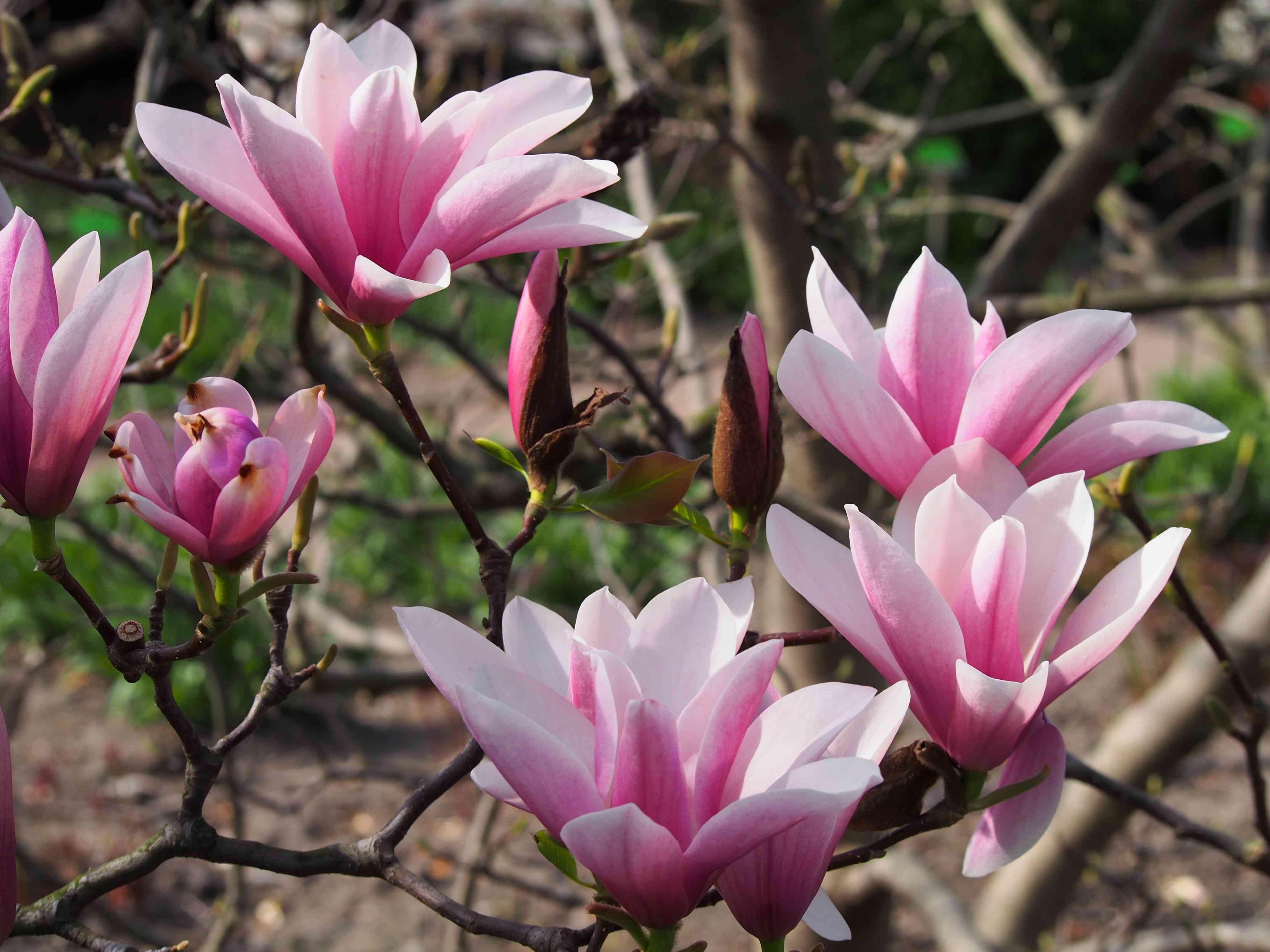 Heaven Scent Magnolia