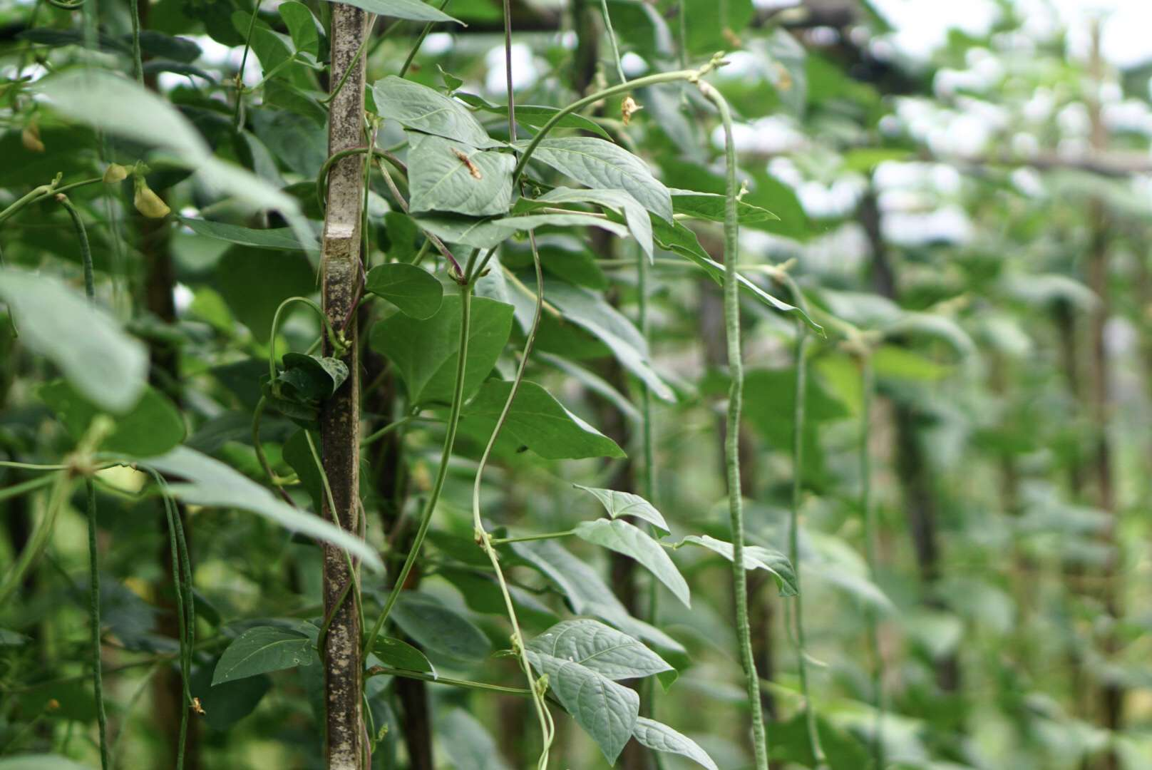 Yardlong bean plant with vines and large leaves trailing tree branch