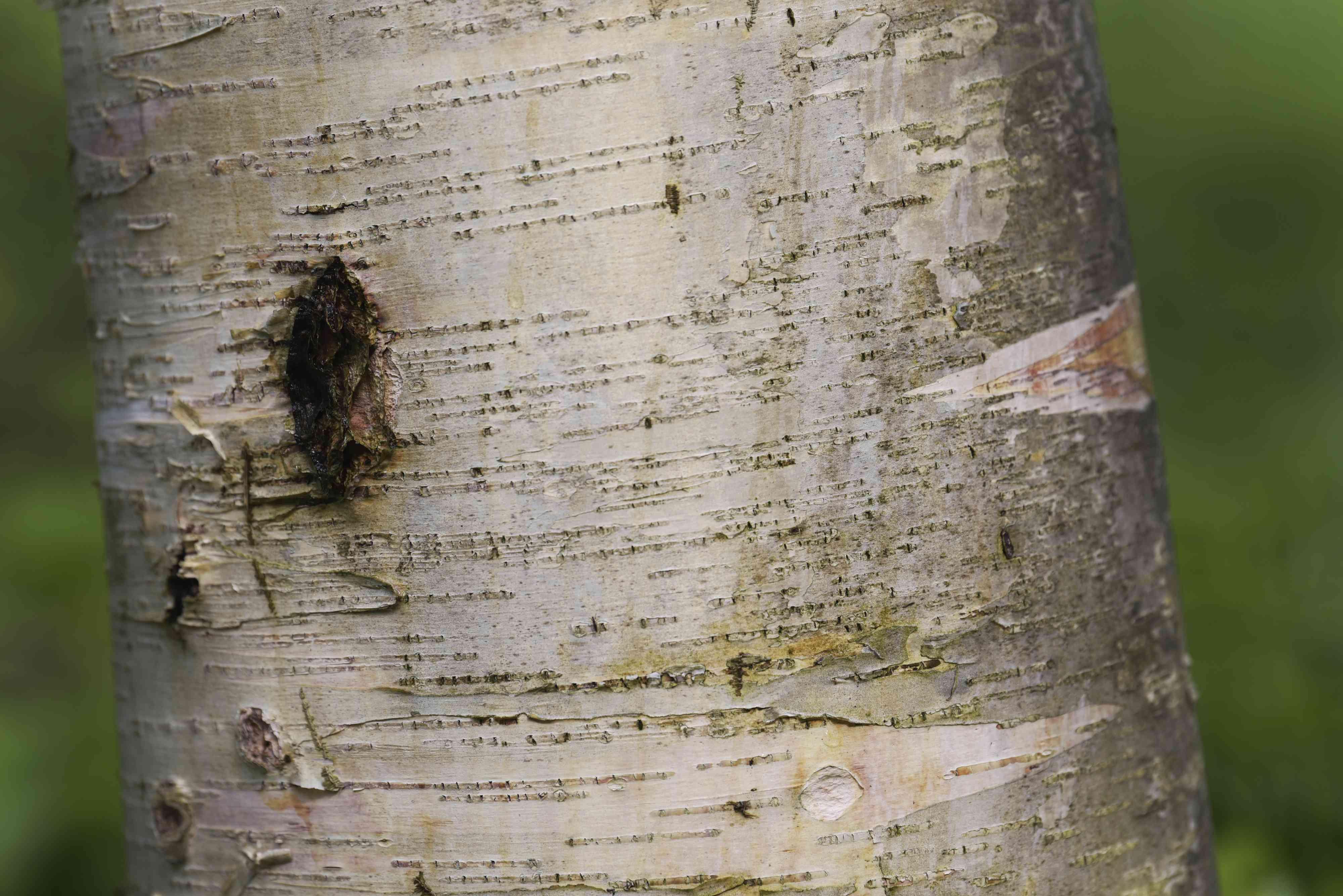 Paper birch tree trunk with peeling white bark closeup