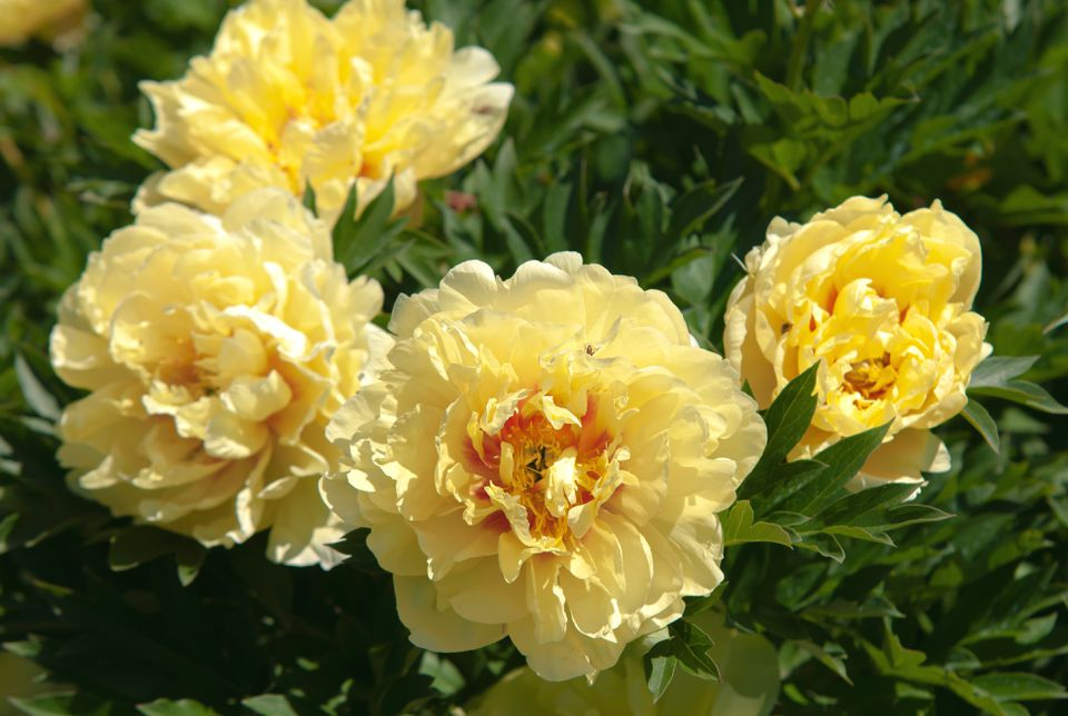 Itoh peonies with yellow flowers and leaves in sunlight closeup