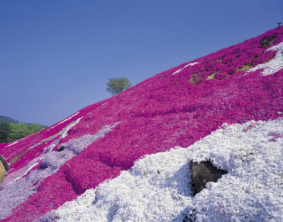 Hillside covered with creeping phlox in different colors.