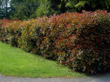 plant profile red tip photinia photinia x fraseri - Is Red Robin Open On Christmas