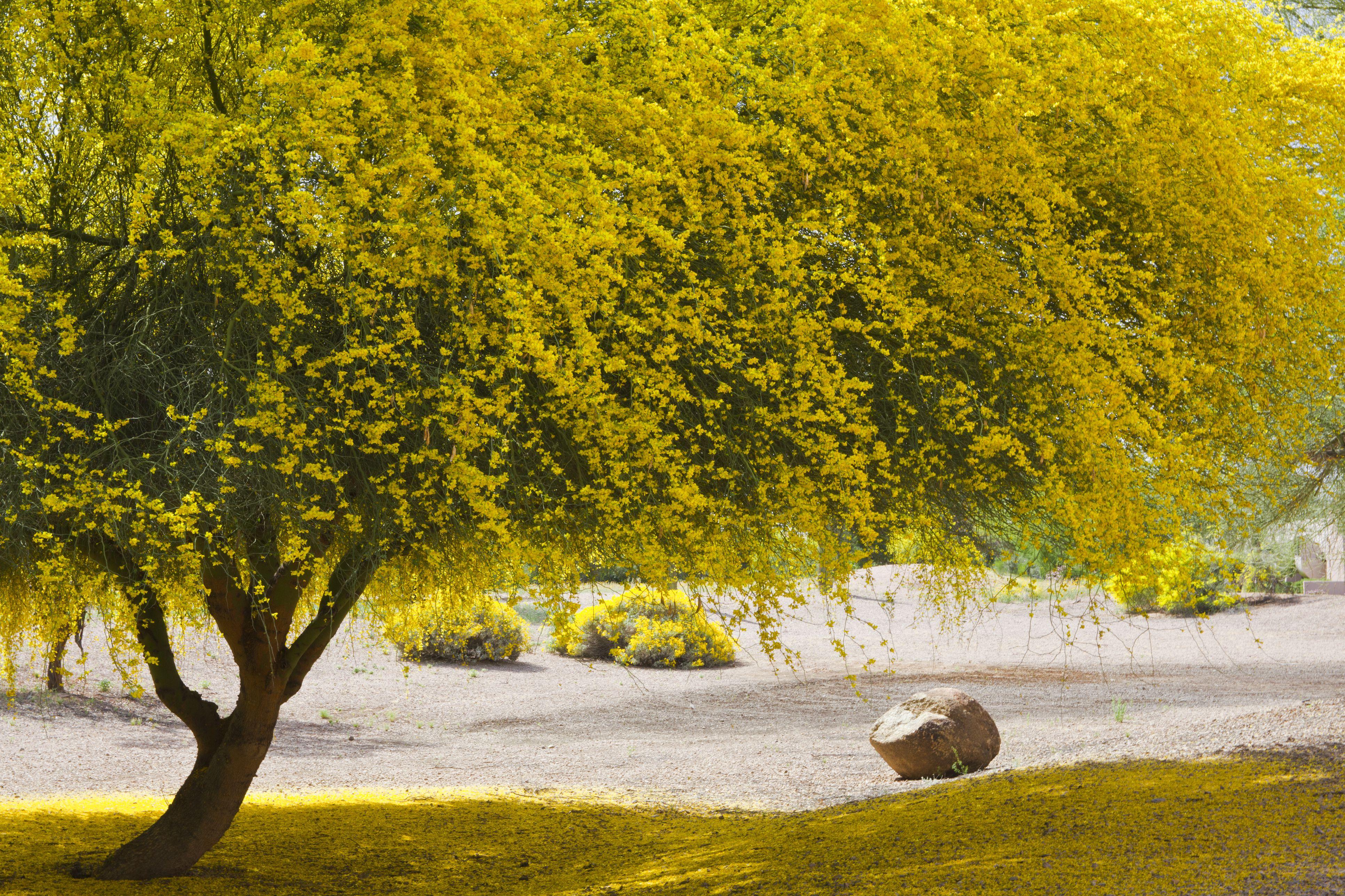 Paloverde tree in full bloom