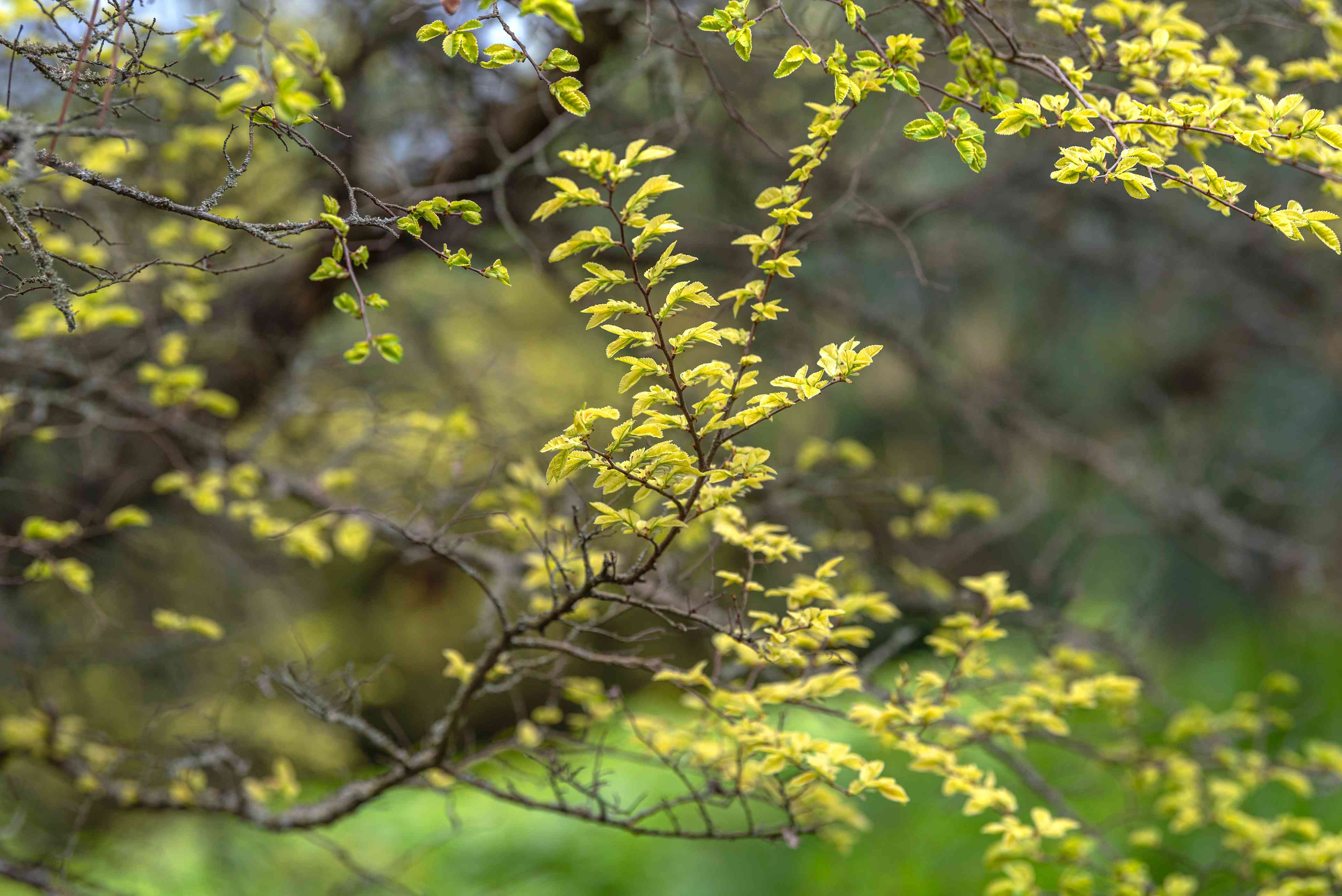 Lacebark elm tree branches with small bright yellow leaves