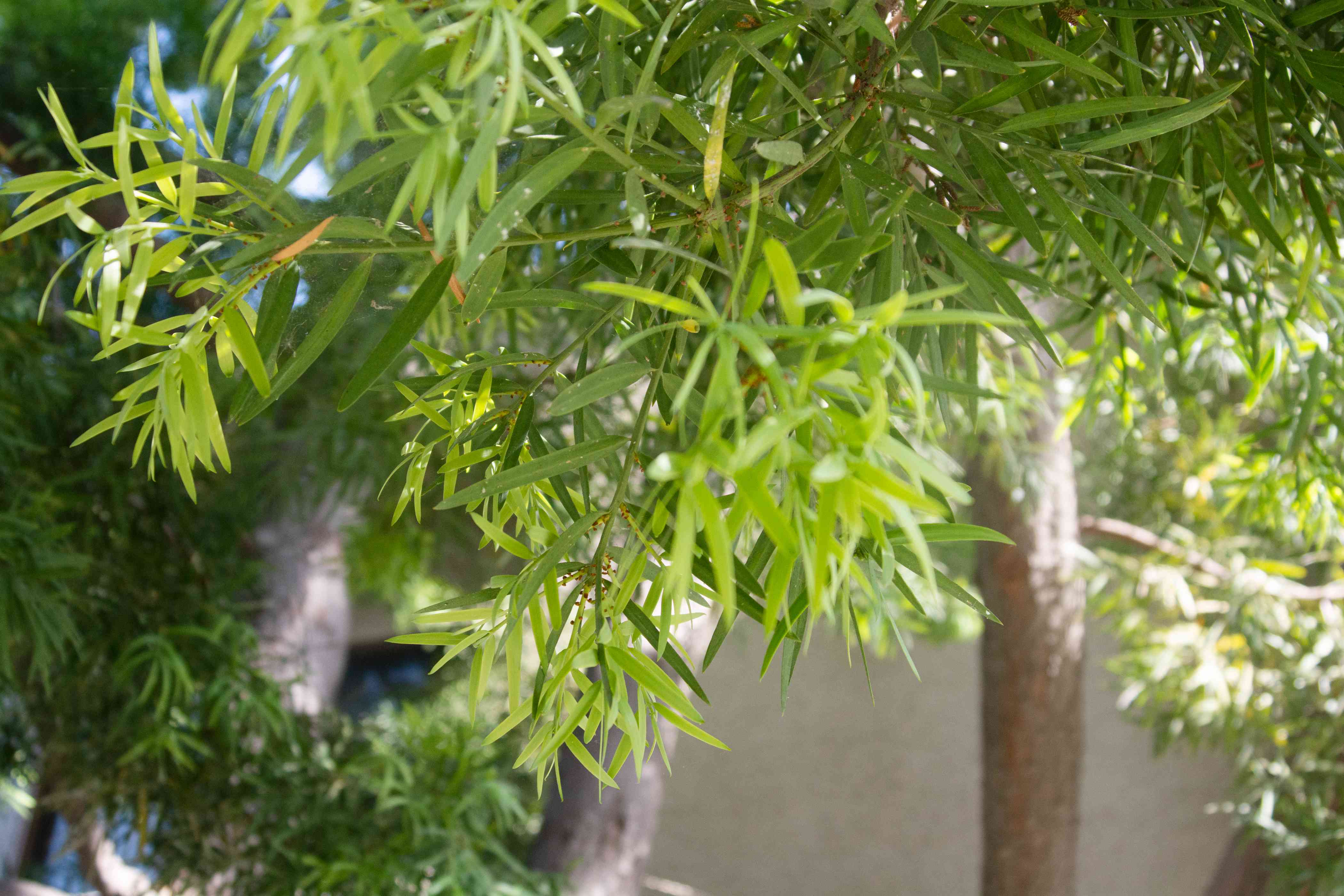 African fern pine tree branch with fern-like leaves closeup