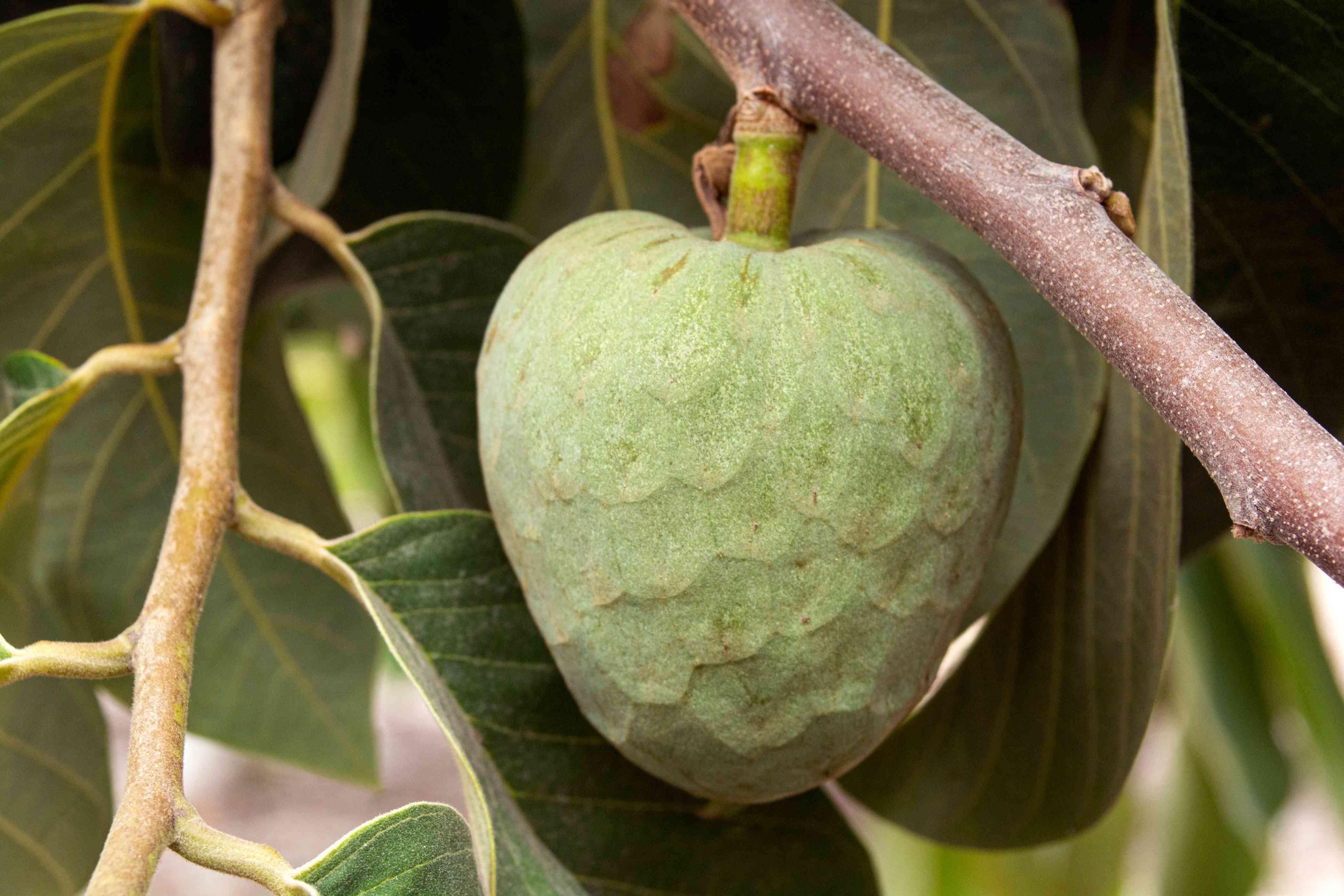 Cherimoya heart-shaped light green fruit hanging from branch closeup