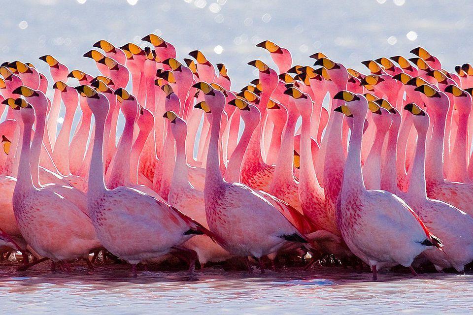 puna-flamingo.jpg