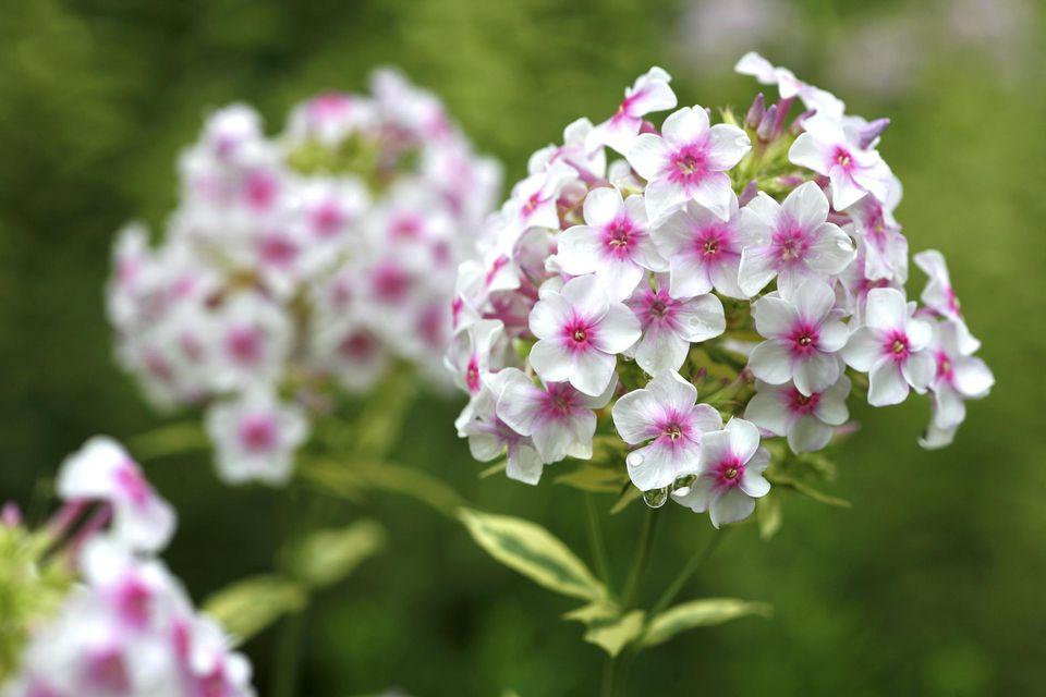 Image of Nora Leigh garden phlox